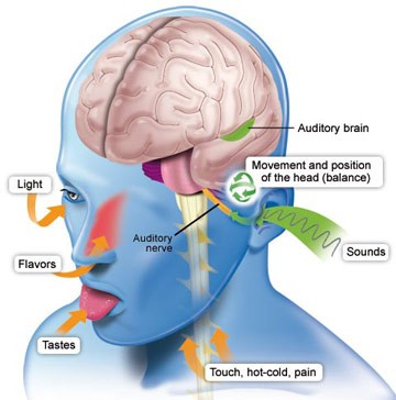Auditory nerve and brain organ brain association