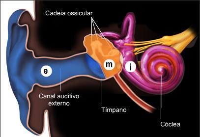 Ouvido Cochlea